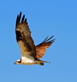 Osprey's Flight