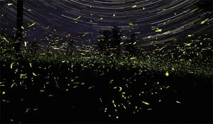 Time lapse photography of star trails and fireflies