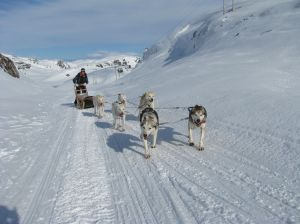 Dog sled in the snow