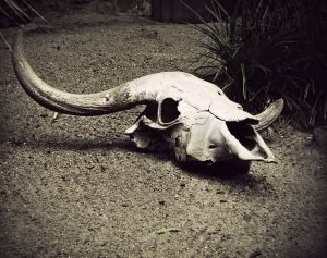 Sepia-toned picture of bison skull on the dirt