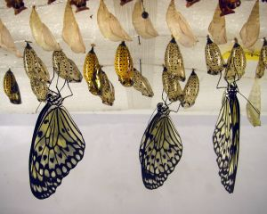 Collection of butterflies and chrysalises