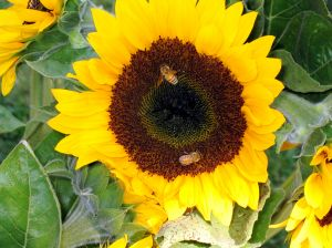 Sunflower with honeybees