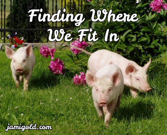 One pig trailing after two others with text: Finding Where We Fit In